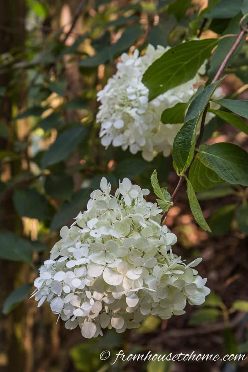 "Hydrangea paniculata ""Pee Gee"" during the ""white"" stage of flowering"