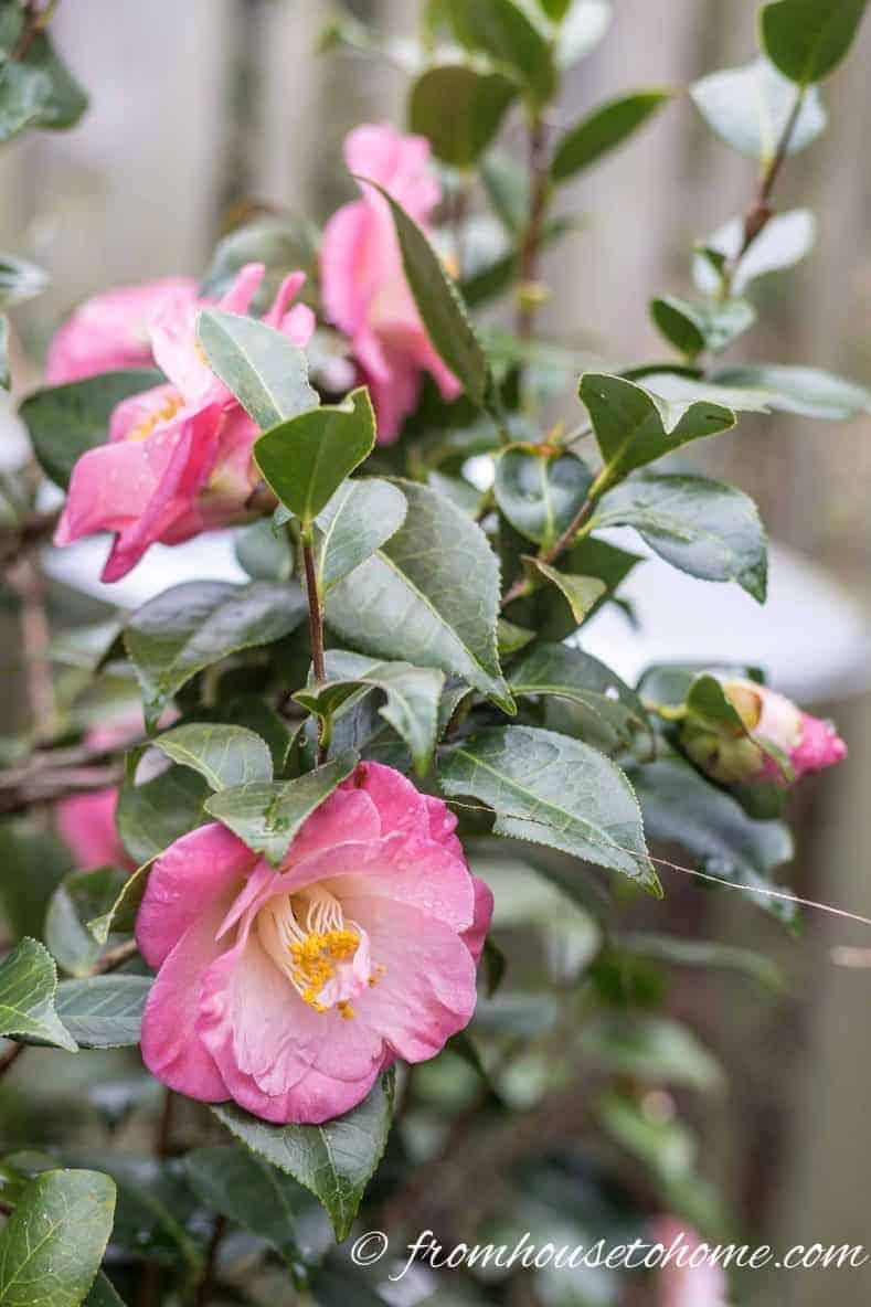 Camellia 'April Remembered'