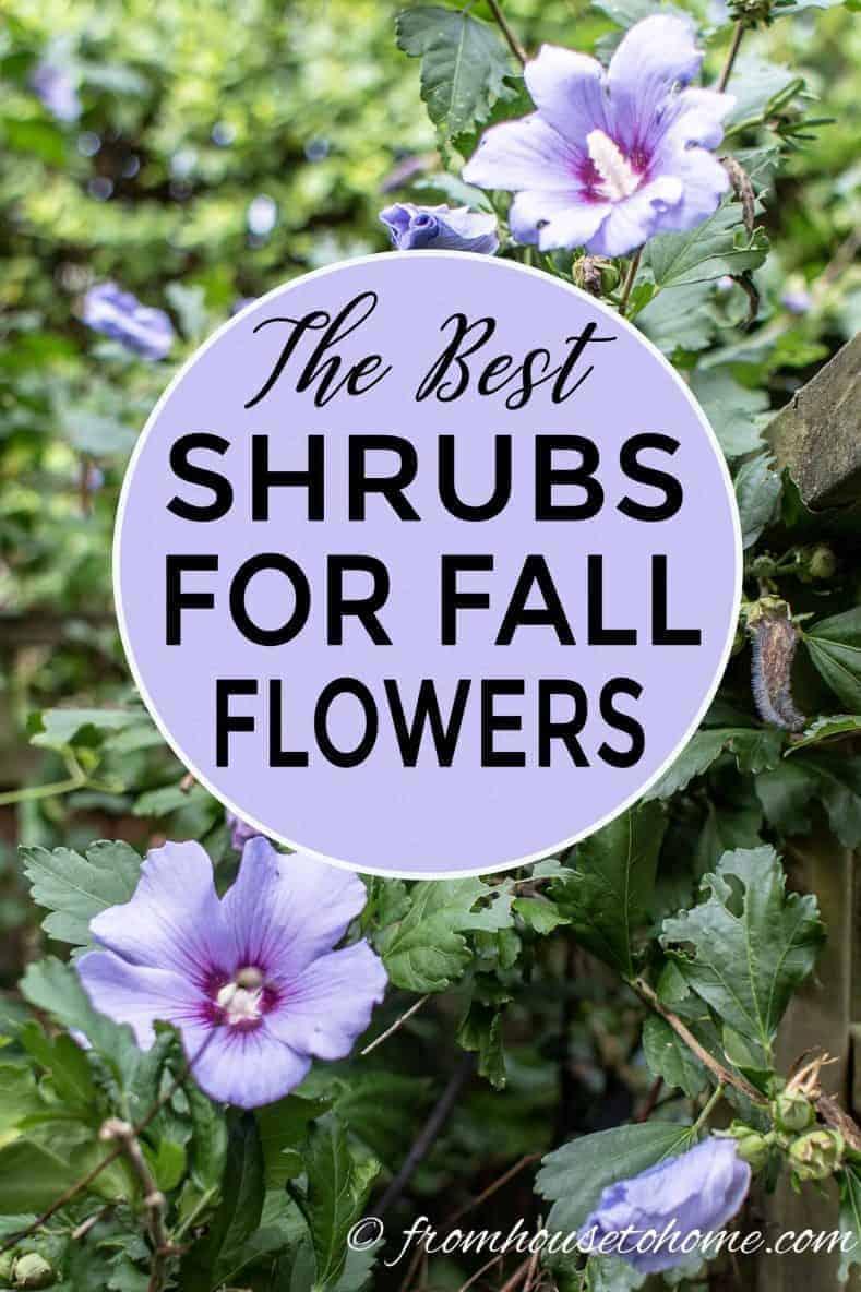 Best Shrubs for fall flowers