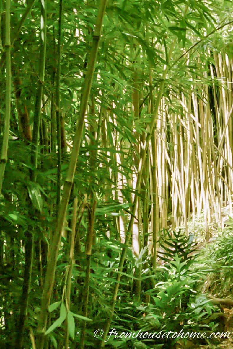 Many bamboo species are very invasive