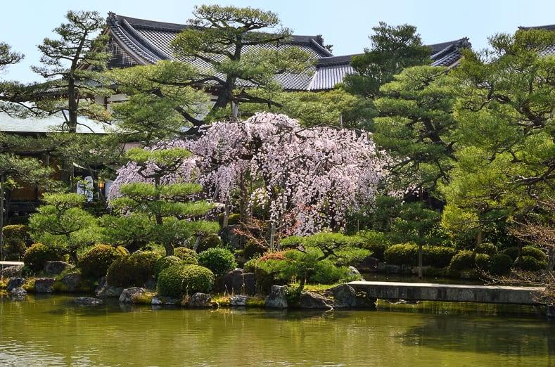 Cherry tree in a Japanese garden
