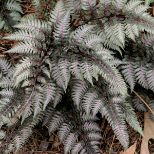 Japanese Painted Fern 'Pictum'