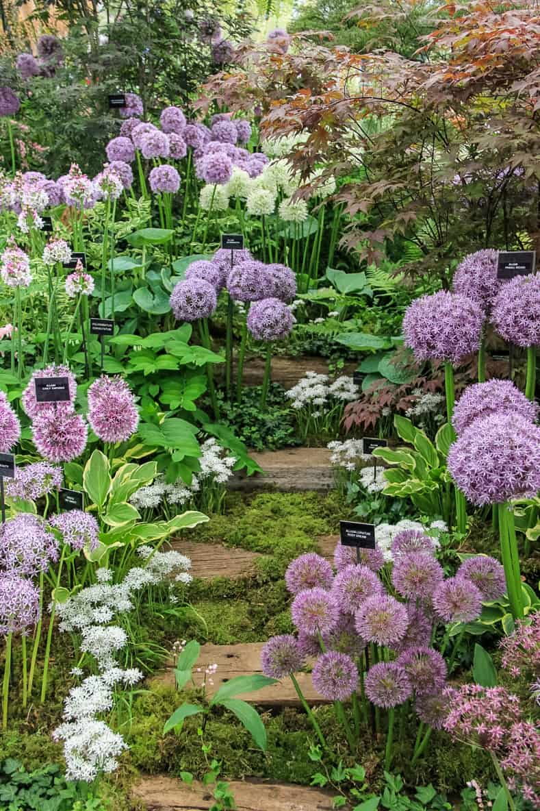 Alliums at the Chelsea Garden Show: By Karen Roe [CC BY 2.0], via Wikimedia Commons