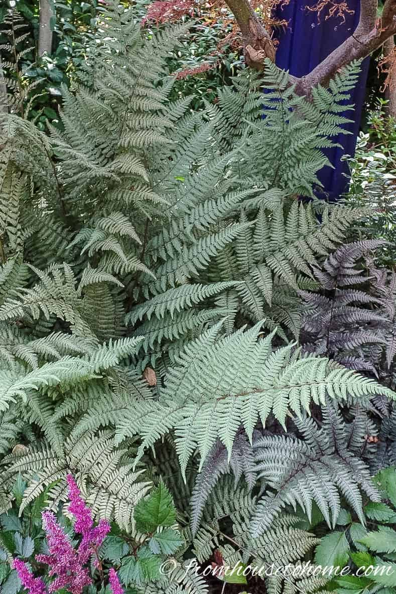 Japanese Painted Ferns 'Ghost' and 'Pictum'