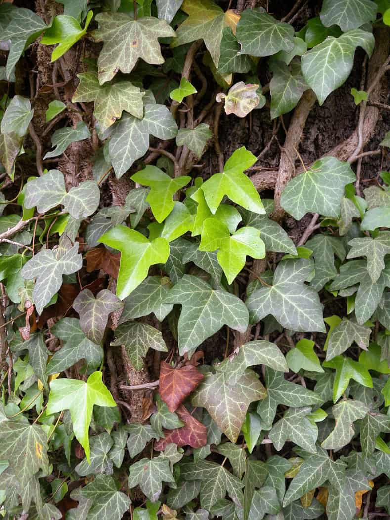 English Ivy by MurielBendel (Own work) [CC BY-SA 4.0], via Wikimedia Commons