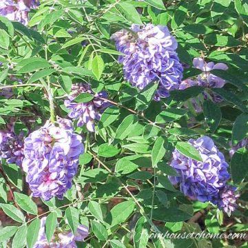 A small wisteria plant