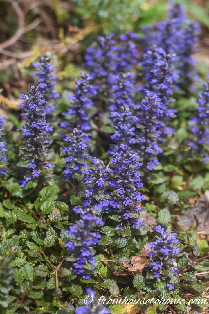 Carpet Bugleweed (Ajuga reptans)