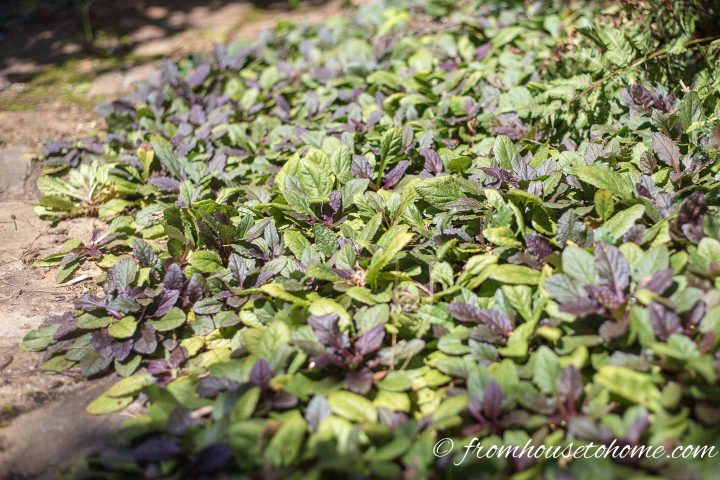 Carpet Bugleweed without blooms