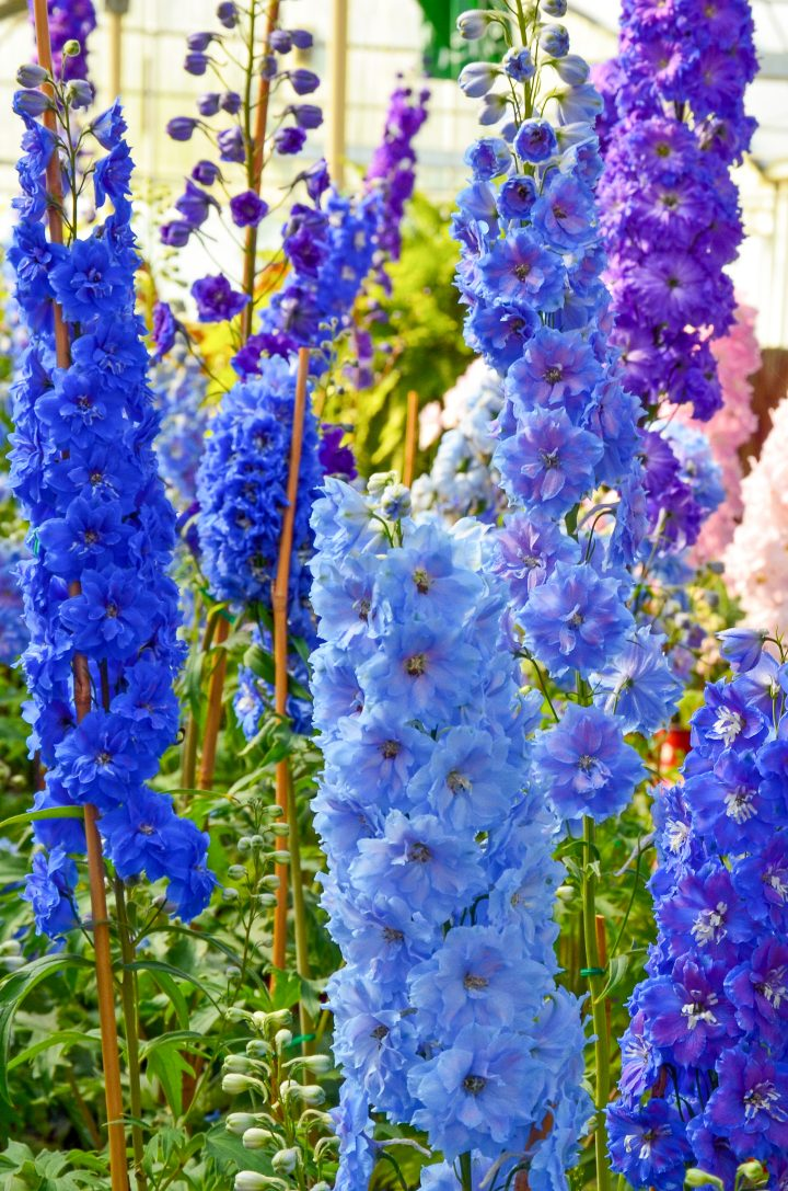 Delphiniums ©perlphoto - stock.adobe.com
