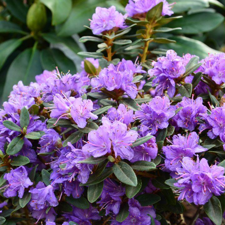 Rhododendron impeditum - ©alisseja - stock.adobe.com