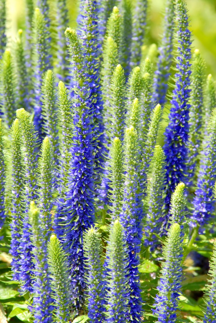Veronica spicata 'Royal Candles' © Sharon Day - stock.adobe.com