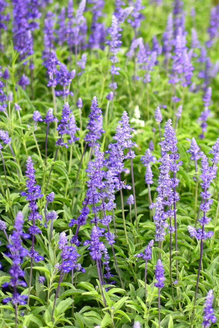 Salvia 'Victoria Blue' ©APHIRAK - stock.adobe.com