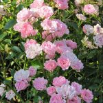 'The Fairy' Polyantha shrub rose
