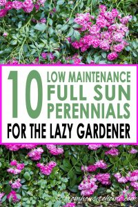 10 low maintenance full sun perennials for the lazy gardener