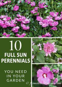 10 full sun perennials