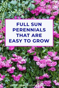 full sun perennials that are easy to grow