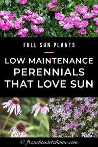 full sun plants: low maintenance perennials that love sun