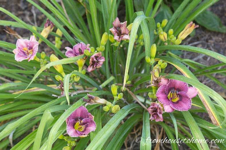 Purple Daylily (Hemerocallis) in the garden