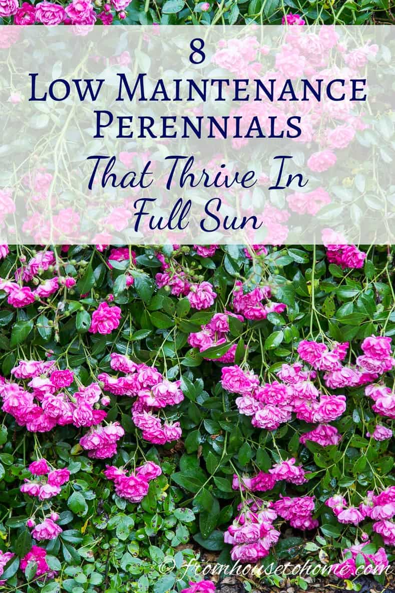 Full Sun Perennials: Low Maintenance Plants That Thrive In Full Sun