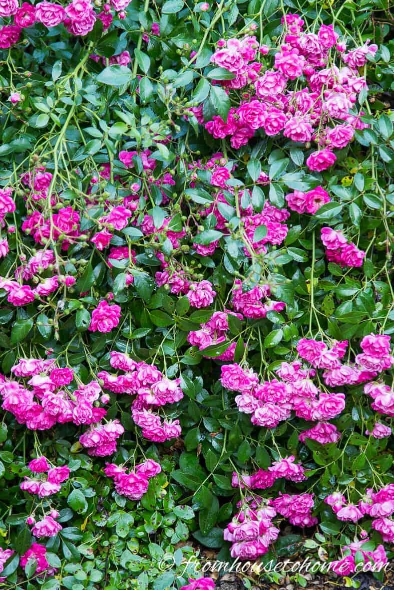 Polyantha Rose 'Gabrielle Privat'