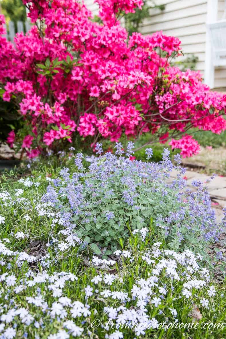 Catmint with Phlox subulata and native azaleas