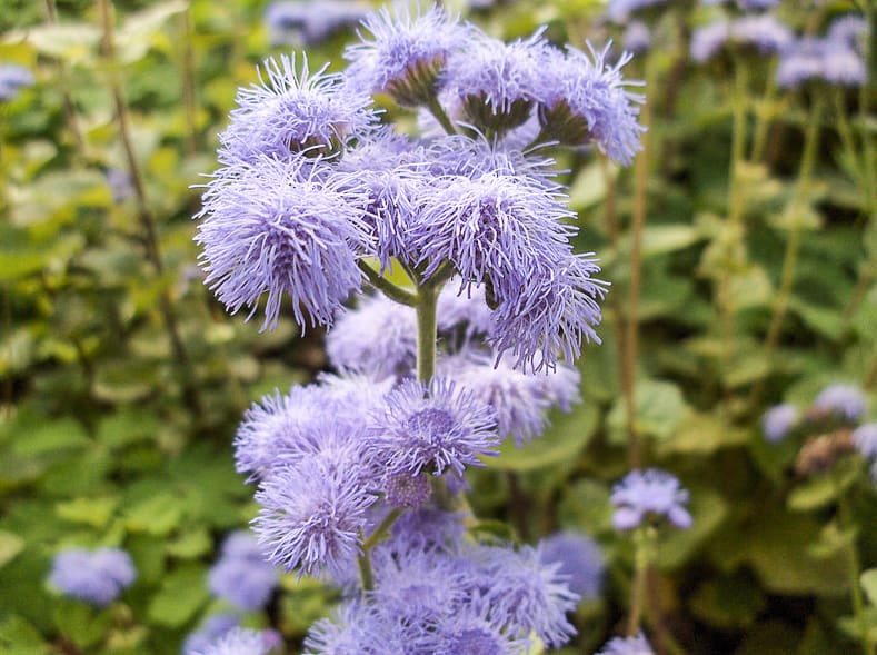 Blue Ageratum By Stephantom (Own work) [CC BY 3.0], via Wikimedia Commons