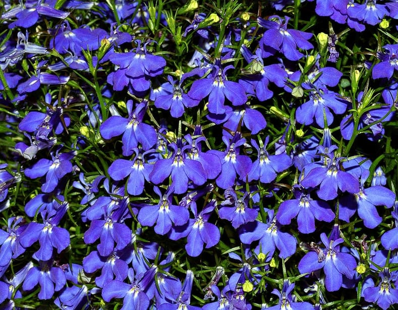 Lobelia By André Karwath aka Aka (Own work) [CC BY-SA 2.5], via Wikimedia Commons