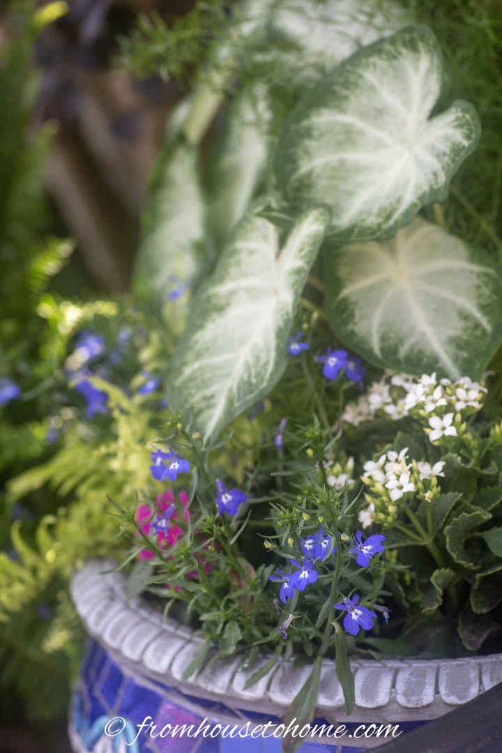 Blue-flowered lobelia with Caladium leaves and white Kalanchoe