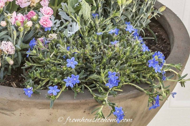 Blue Browallia in a container in the shade