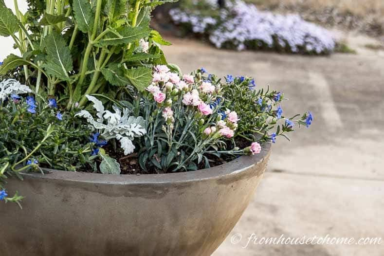 Blue browallia with pink dianthus and silver dusty miller