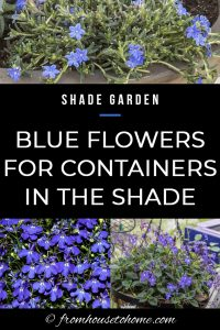 Shade Garden: Blue flowers for containers in the shade