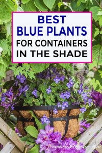 Blue plants for shade planters