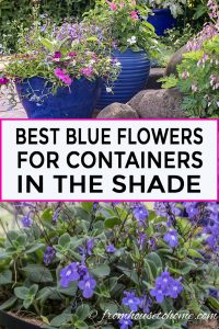 Blue flowers for containers