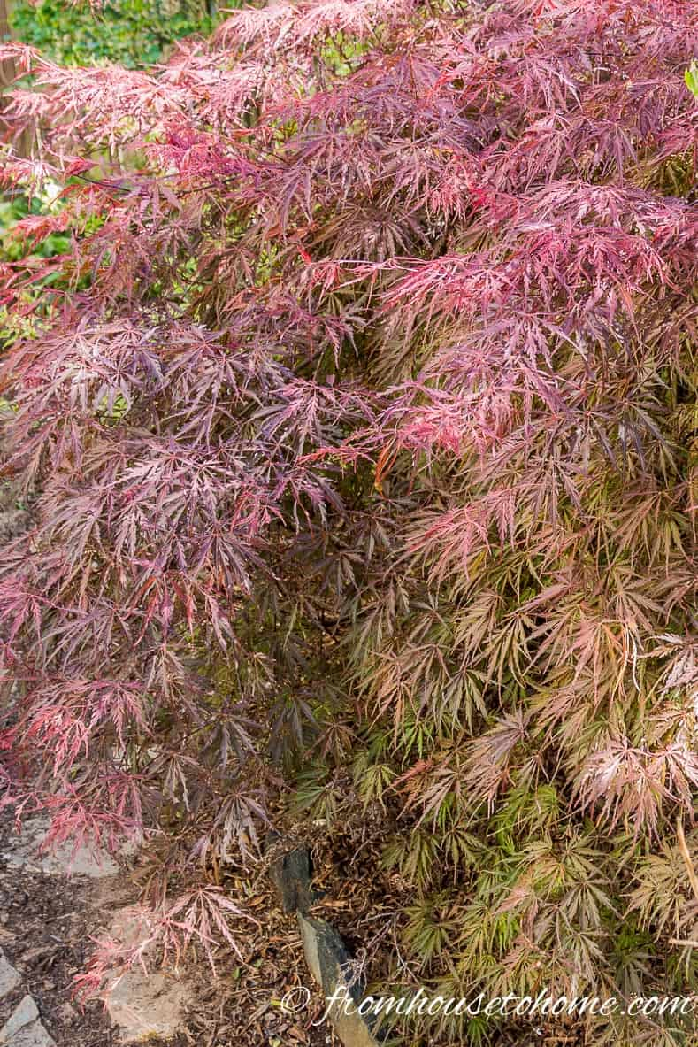 Leaf color is better in some sun | 10 Surprising Things About Growing Beautiful Japanese Maples | If you want to add a Japanese Maple to your landscape (or you already have one growing in your garden) but aren't sure how to care for it, these tips on fertilizing, pruning and growing in containers (among other things) are very helpful!