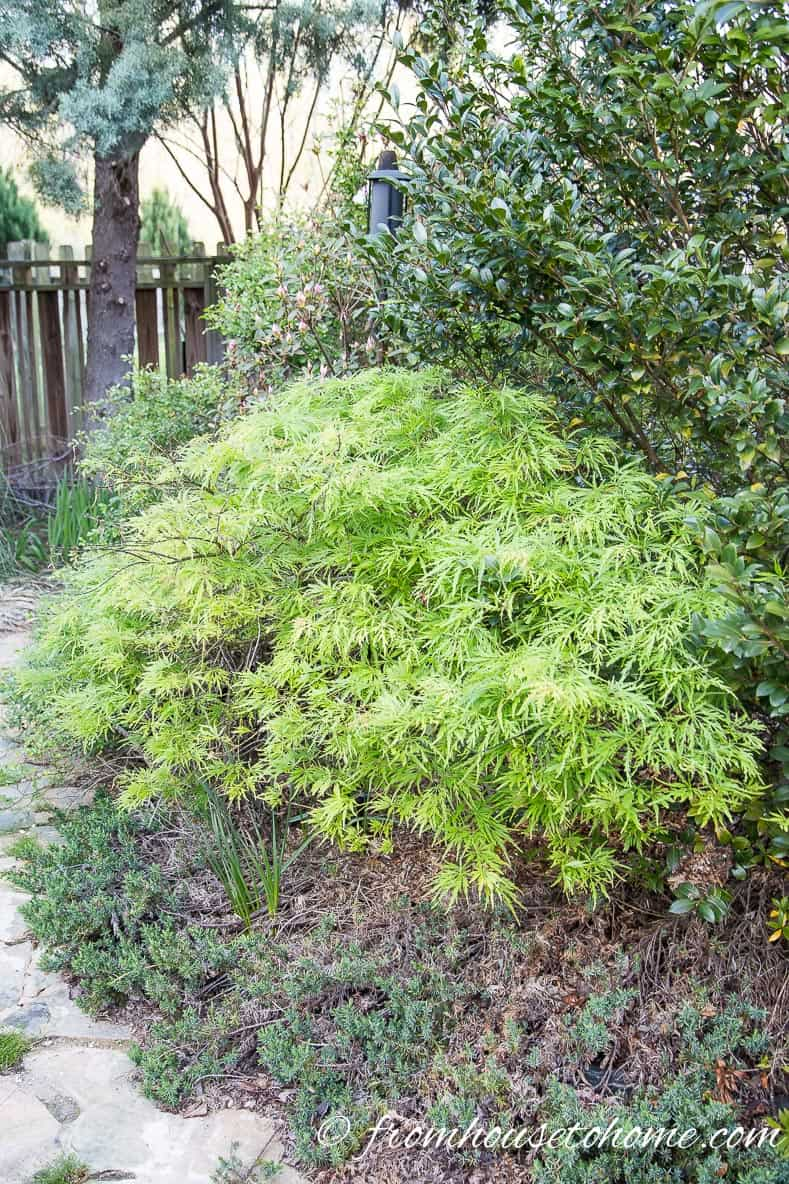 10 Surprising Things About Growing Beautiful Japanese Maples | If you want to add a Japanese Maple to your landscape (or you already have one growing in your garden) but aren't sure how to care for it, these tips on fertilizing, pruning and growing in containers (among other things) are very helpful!