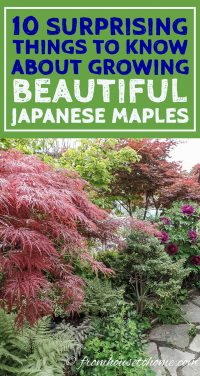 10 surprising things to know about growing beautiful Japanese maples