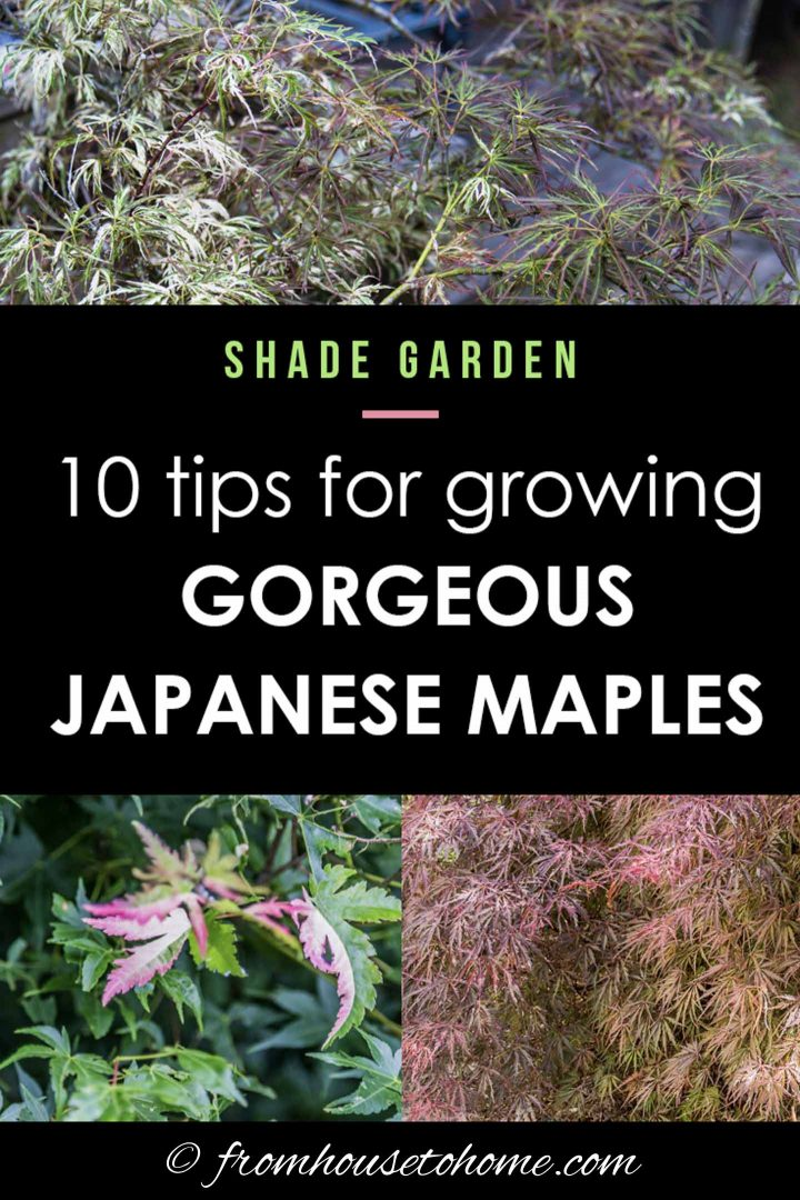 10 tips for growing gorgeous Japanese Maples