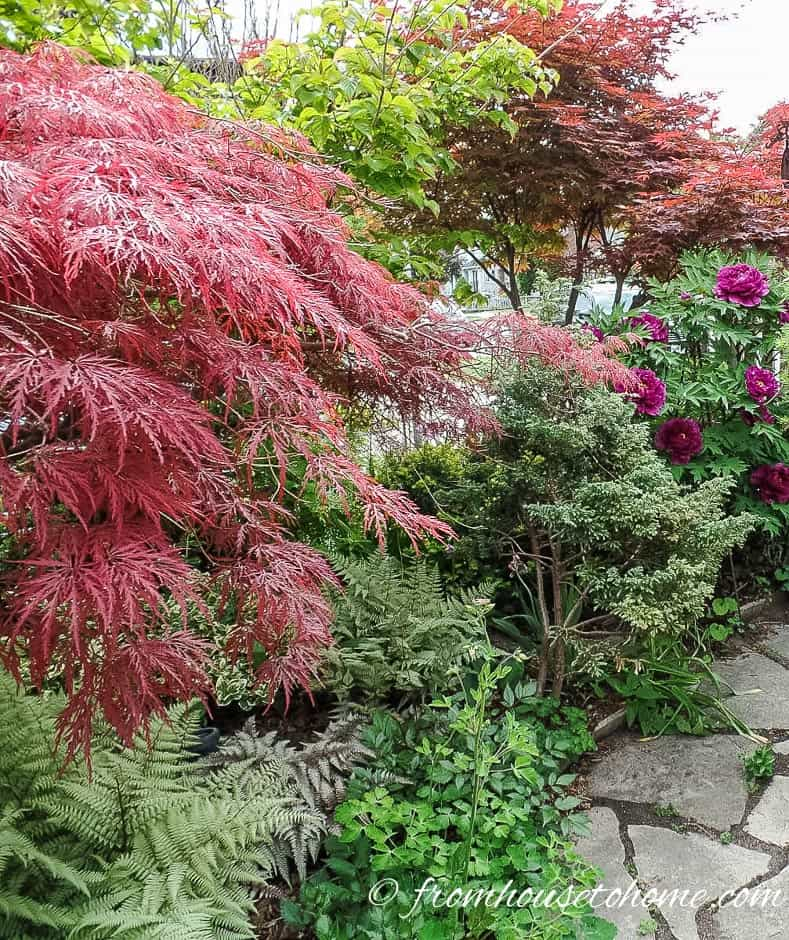 Japanese Maples in the border | 10 Surprising Things About Growing Beautiful Japanese Maples | If you want to add a Japanese Maple to your landscape (or you already have one growing in your garden) but aren't sure how to care for it, these tips on fertilizing, pruning and growing in containers (among other things) are very helpful!