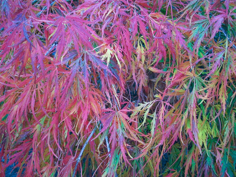 Beautiful Japanese Maple fall leaves - By David Eickhoff from Pearl City, Hawaii, USA (Japanese maple Uploaded by Tim1357) [CC BY 2.0], via Wikimedia Commons | 10 Surprising Things About Growing Beautiful Japanese Maples | If you want to add a Japanese Maple to your landscape (or you already have one growing in your garden) but aren't sure how to care for it, these tips on fertilizing, pruning and growing in containers (among other things) are very helpful!