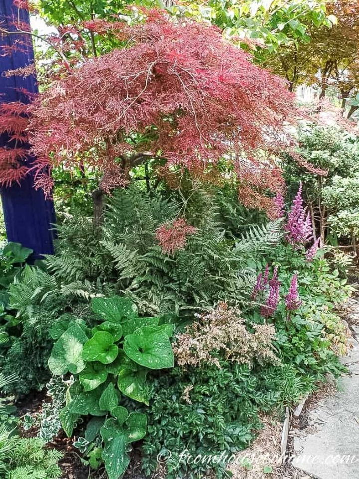Astilbe chinensis planted under a Japanese Maple with ferns and Bergenia