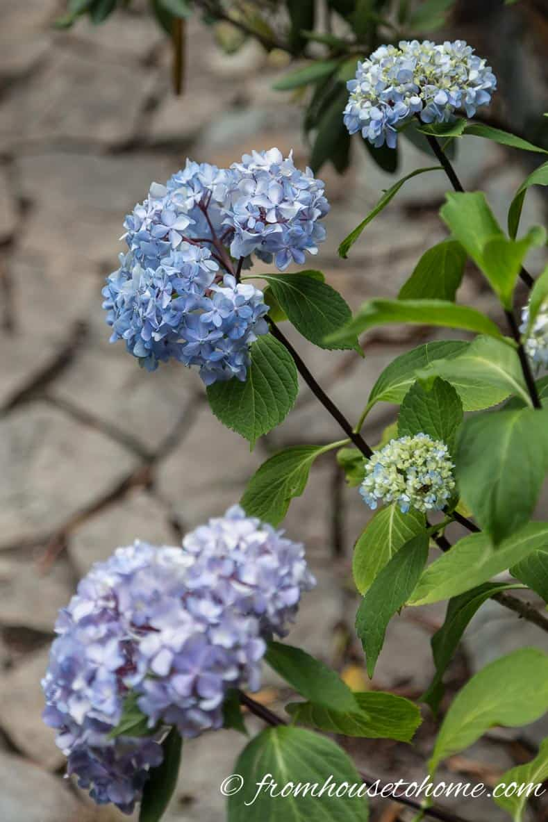 Hydrangea macrophylla buds can be killed by late frost