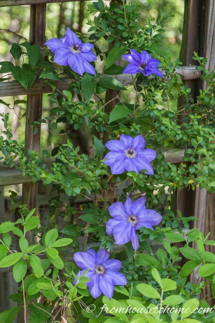 Best Blue Clematis Variety - Clematis 'Alice Fisk'