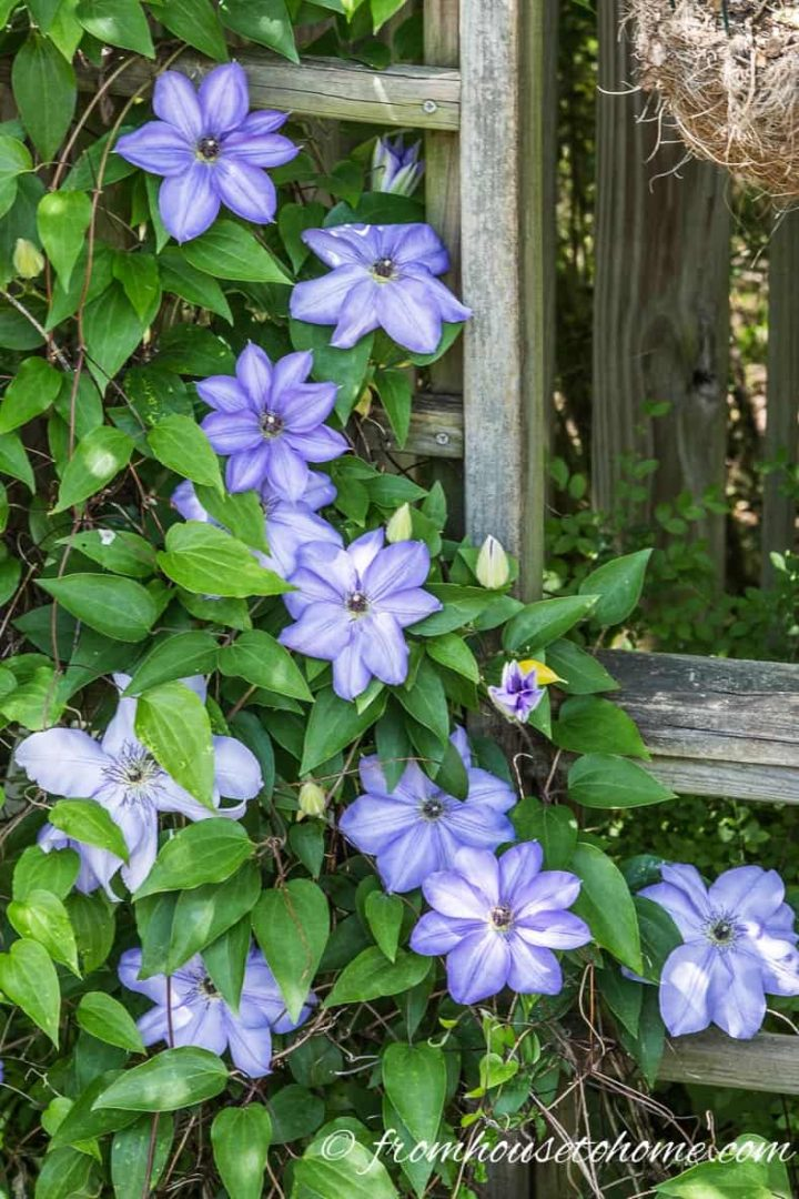 Clematis 'Alice Fisk' growing on a trellis