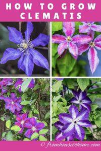 Pink and purple Clematis varieties
