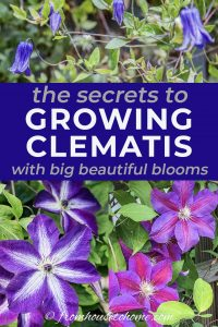 the secrets to growing Clematis with big beautiful blooms