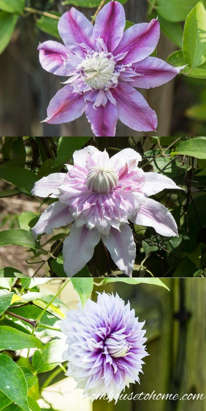 The different stages of Clematis 'Josephine'