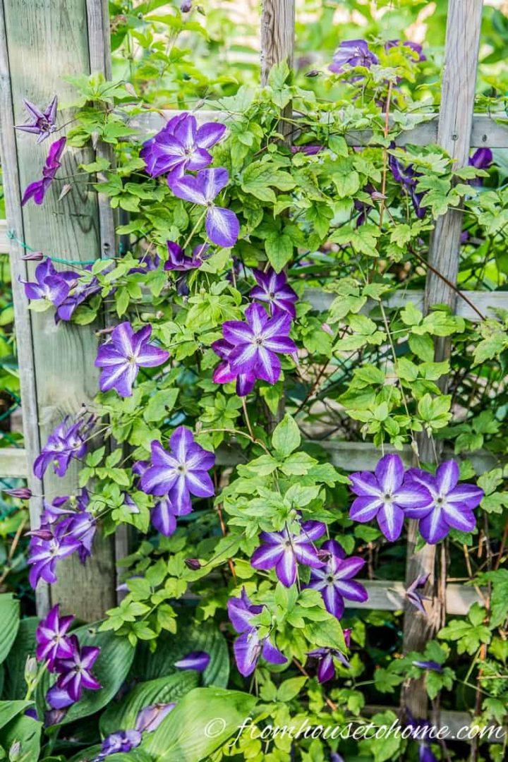 Toughest Clematis Variety - Clematis 'Venosa Violacea'