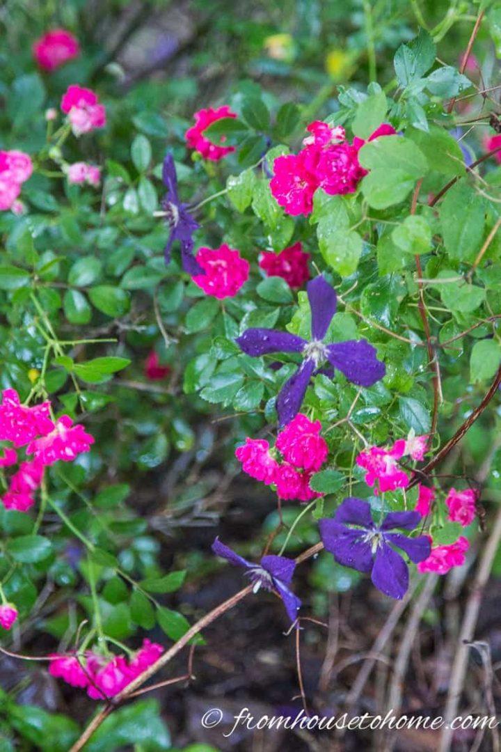 Clematis growing through roses