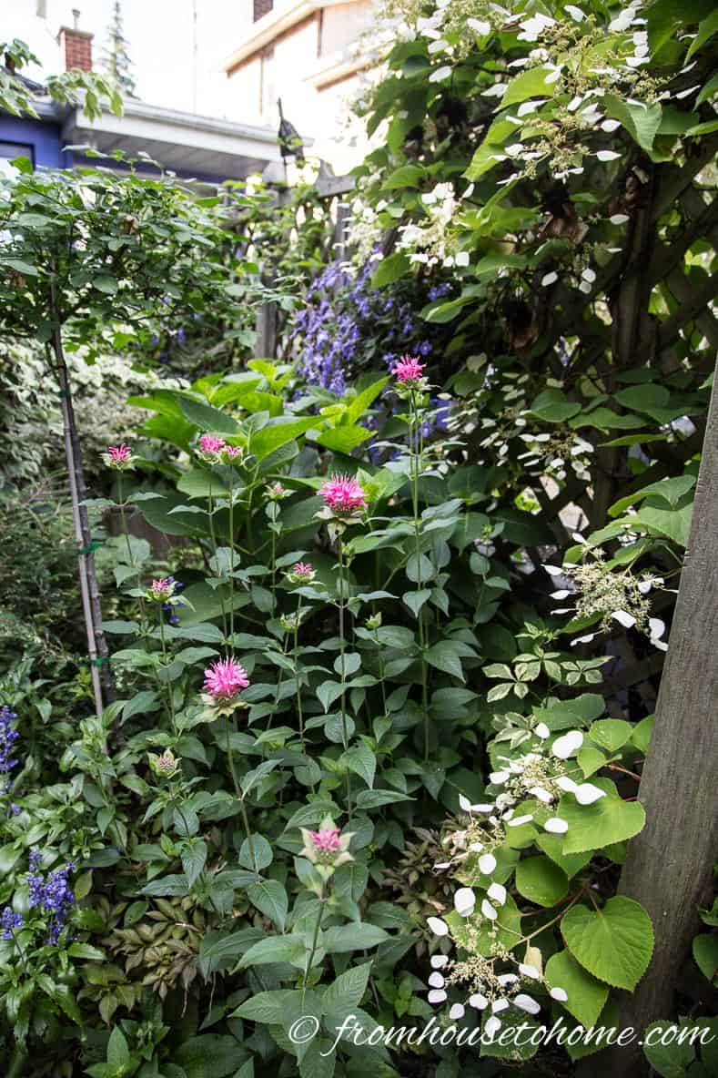 Mature Hydrangea petiolaris with pink Monarda and purple Clematis