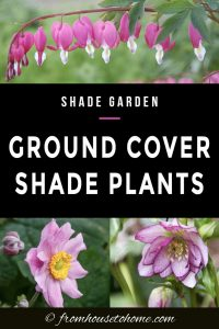 ground cover shade plants